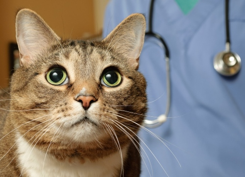 Бешенство у кошек: симптомы, признаки
