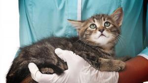 Кошачий грипп, симптомы и лечение