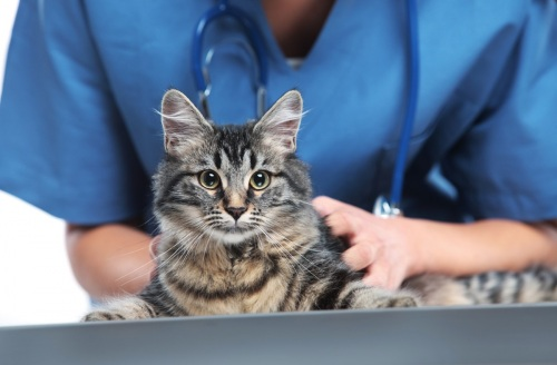 Заболевания почек у кошек и котов