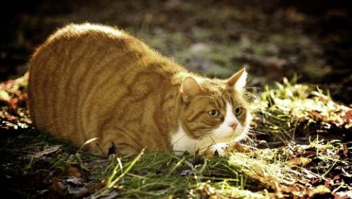 Ожирение, избыточный вес у кошек, причины и профилактика