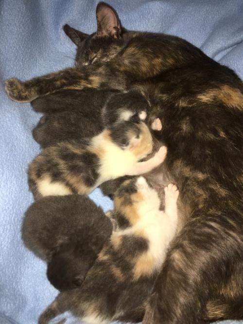 Чем и как кормить беременную кошку, кошку после родов