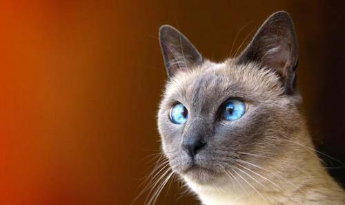 чем кормить сиамского котенка
