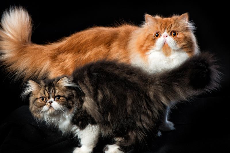 Как назвать персидского котенка. Клички (имена) для персидских котов и кошек