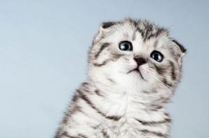 Как назвать шотландского котенка. Имена (клички) для шотландских вислоухих кошек и котов