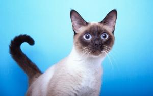 Как назвать сиамского котенка. Клички (имена) для сиамских котов и кошек