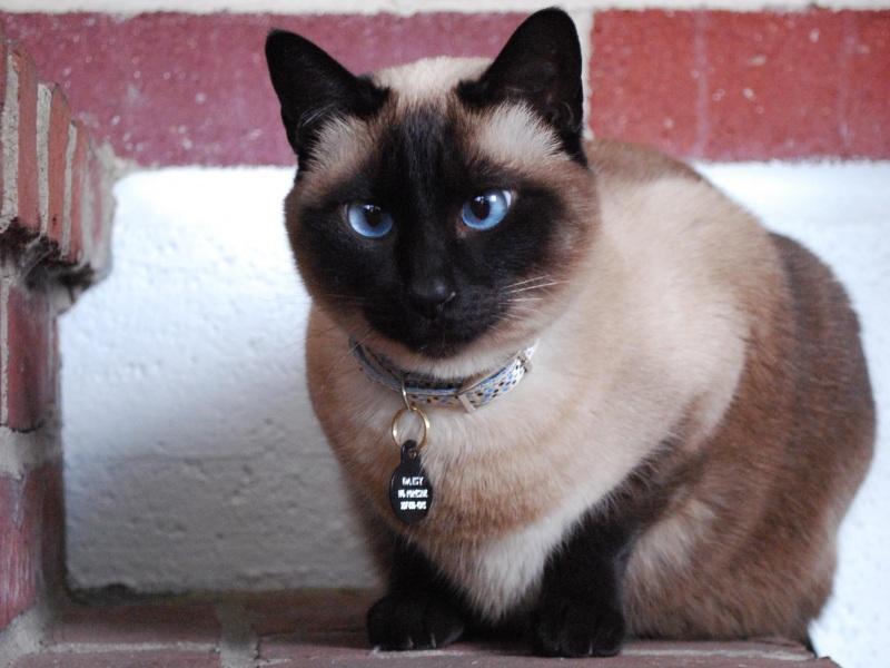 Имена для сиамских кошек (9 фото): популярные и красивые клички для мальчиков и девочек сиамской породы