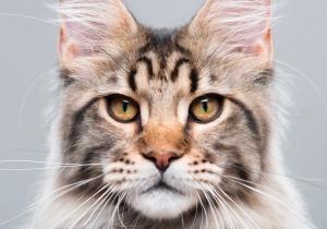 Сколько стоит Мейн Кун? Из чего складывается цена на кошек и котов породы Мейн Кун