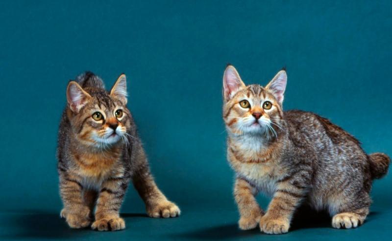 Редкие породы кошек с фотографиями и названиями
