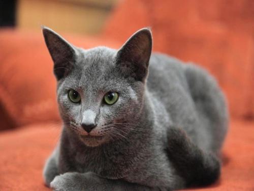 Самые дорогие породы кошек с фотографиями и названиями