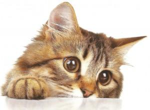 Кастрация кота: за и против