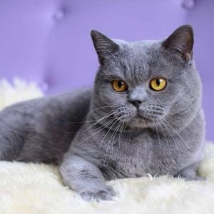 Как назвать кота или кошку британской породы?