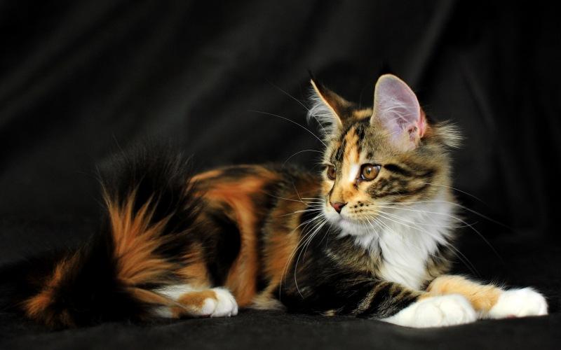 Как назвать трехцветную кошку?