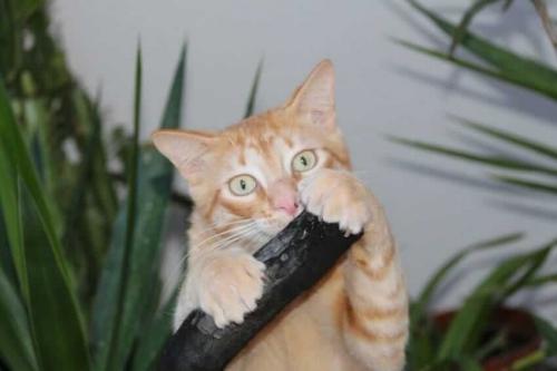 Удаление когтей у кошек и котов: за и против